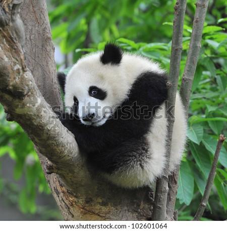 Giant panda bear sleeping in tree - stock photo