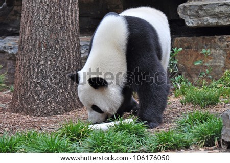 Giant panda bear walking. - stock photo