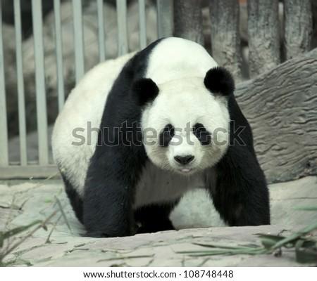 giant panda bear walking and smile - stock photo