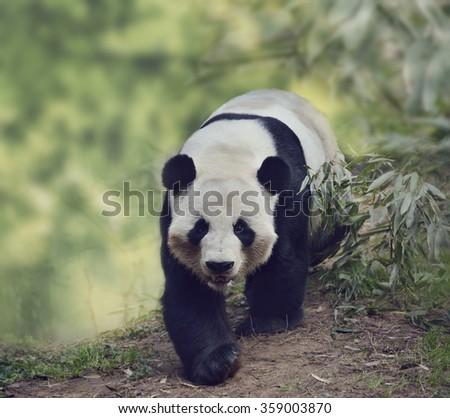 Giant Panda Bear Walking in the Woods - stock photo