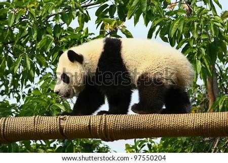 Giant panda bear walking on a beam - stock photo