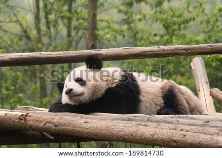 Giant Panda Bears - stock photo