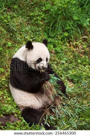 Giant Panda eating,  - stock photo