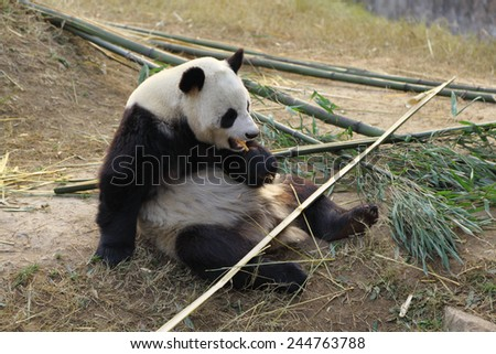 Giant Panda eating bamboo - stock photo