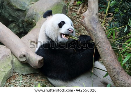 Giant panda enjoying some bamboos as its meal
