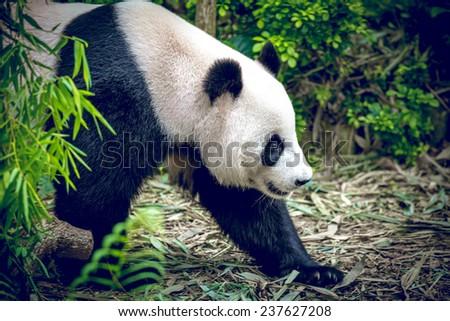 Giant panda in Singapore zoo - stock photo