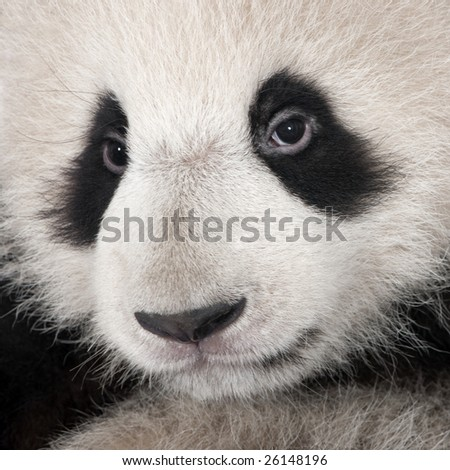 Giant Panda (4 months) - stock photo