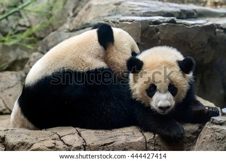 giant panda newborn baby portrait close up while looking at you - stock photo
