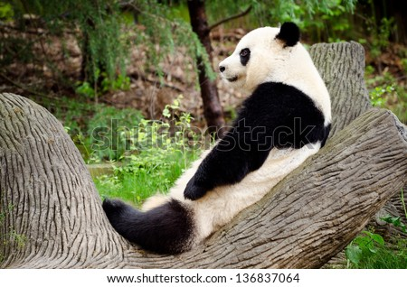 Giant panda resting on log - stock photo