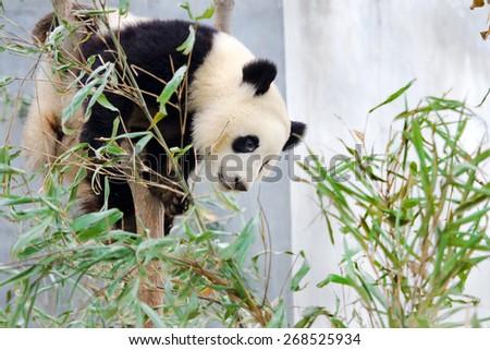 Giant Panda Sitting in the Tree - stock photo