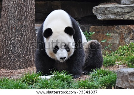 Giant Panda sitting up. Giant Panda looking in the camera. Australia, Adelaide zoo - stock photo