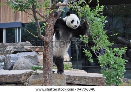 Giant Panda standing upright. Australia, Adelaide zoo - stock photo