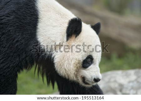 giant panda while coming to you close up portrait - stock photo