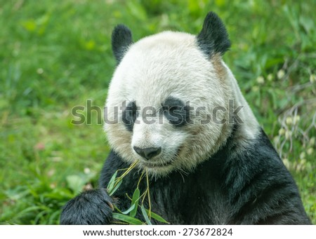 giant panda while eating bamboo close up portrait - stock photo