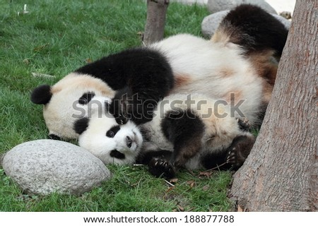 Giant panda with its cub Sleeping on the grass - stock photo