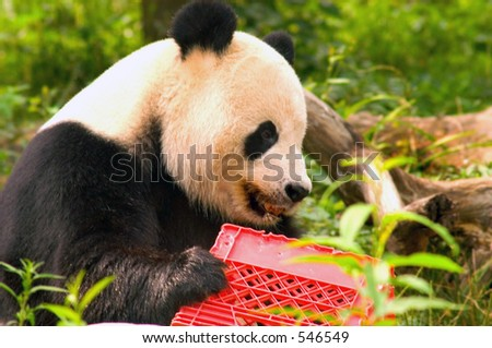 Giant panda with milk crate at National Zoo in Washington 3 - stock photo