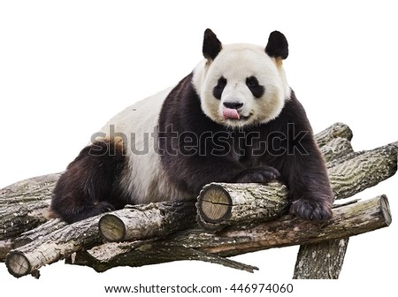Giant panda with tongue out and lying on wood flooring isolated on white background.