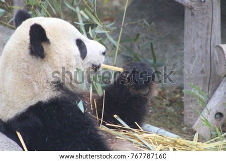 giant pandas eating bamboo from different angles