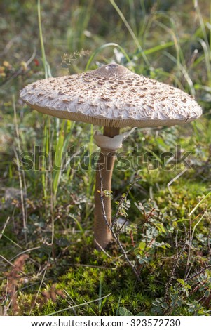 Giant parasol mushroom in a green forest - stock photo