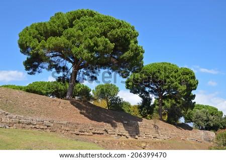 Giant pine trees growing on the walls of ancient Pompeii (Pinus pinea) - stock photo