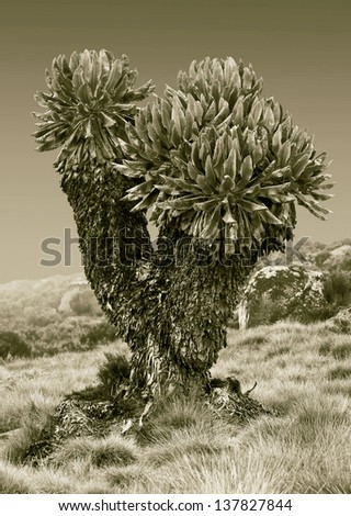 Giant plants (Senecio kilimanjari) near the camp Horombo (3700 m) on the slope of mount Kilimanjaro - Tanzania (stylized retro) - stock photo