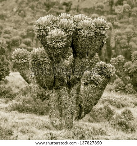 Giant plants (Senecio kilimanjari) near the camp Horombo (3700 m) on the slope of mount Kilimanjaro - Tanzania, Eastern Africa (stylized retro) - stock photo