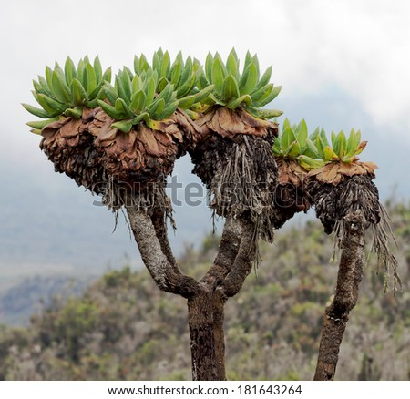 Giant plants (Senecio kilimanjari) near the camp Horombo (3700 m) on the slope of mount Kilimanjaro - Tanzania, Eastern Africa - stock photo