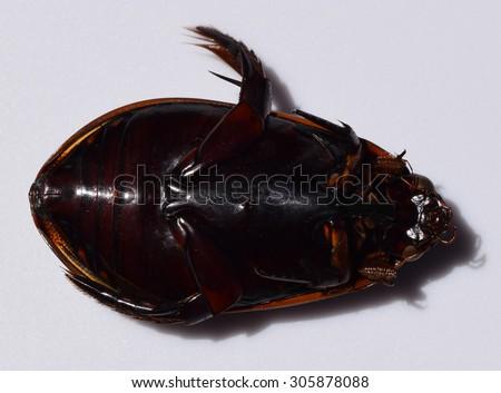 Giant predacious diving beetle Cybister fimbriolatus - stock photo