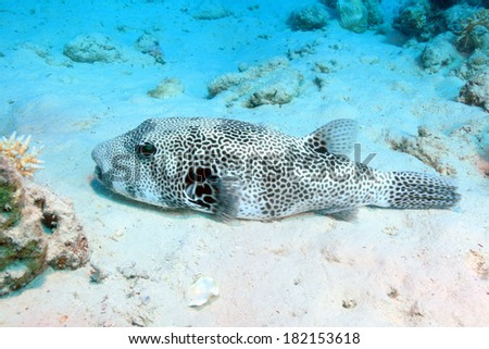 Giant puffer (Arothron stellatus) on the sandy bottom of the red sea - stock photo