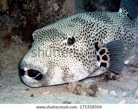 Giant Puffer Fish (Arothron stellatus) - stock photo