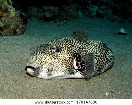 Giant puffer fish resting peacefully on sand - stock photo