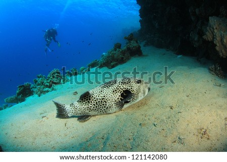 Giant Puffer fish with Scuba Divers - stock photo