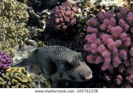 Giant pufferfish and Coral Reef. - stock photo