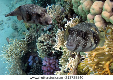 Giant pufferfish and Coral Reef, Red Sea, Egypt - stock photo