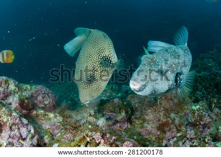 Giant pufferfish eating crown of thorn in the tropical sea of Ishigaki, Okinawa.
