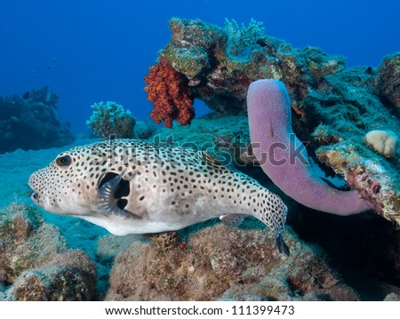 Giant Pufferfish swims next to a purple tube sponge on a coral r