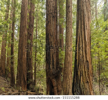 Giant Redwood Trees (Sequoia sempervirens) Muir Woods, Mill Valley, California, USA. Muir Woods National Monument an old growth forest of Coast Redwoods aka California redwoods tallest trees on earth. - stock photo