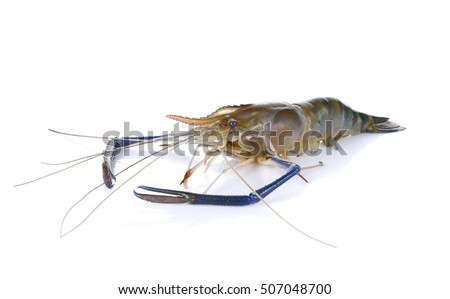Giant river prawn isolated on white