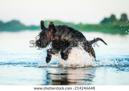 Giant schnauzer dog running in the water - stock photo