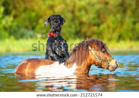 Giant schnauzer dog with painted shetland pony in the water - stock photo