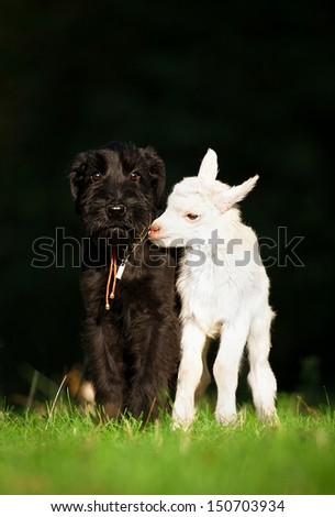 Giant schnauzer puppy with little white goatling  - stock photo