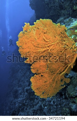 Giant sea fan. North Horn dive site in the Coral Sea. - stock photo
