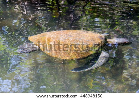 Giant sea turtle swimming near the surface off the shore of Isabela Island in the Galapagos Islands - stock photo