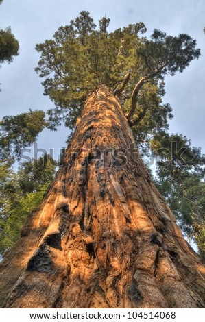 Giant Sequoia - stock photo