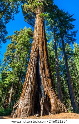 Giant Sequoia, Mariposa Grove, Yosemite National Park - stock photo