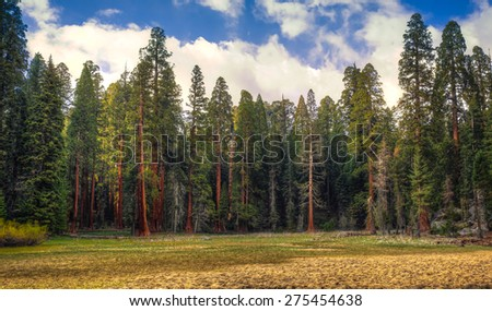 Giant Sequoia Meadow, Sequoia National Park, California  - stock photo