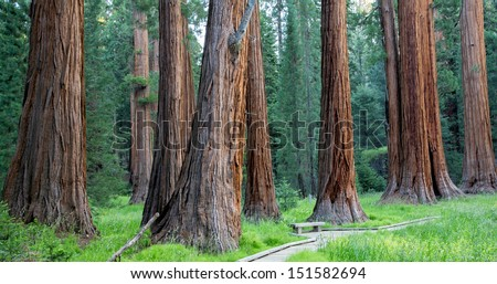 Giant sequoia redwood trees in Sequoia National Park, California, USA America - stock photo