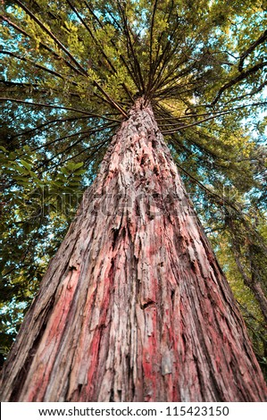 Giant sequoia tree - stock photo