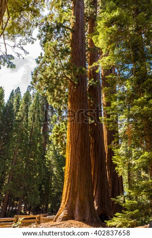 Giant Sequoia Tree, Giant Forest, California USA - Sequoia Trees near Giant Forest Museum. Location: Sequoia National Park in California, USA.  - stock photo