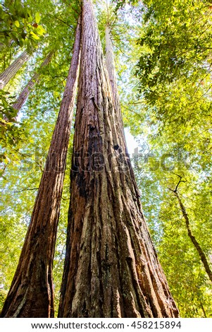 Giant sequoia tree standing in a Red Wood National park in California. - stock photo